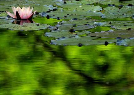 Arten von wasserpflanzen f r den gartenteich for Fische gartenteich arten